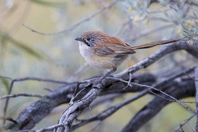 Sandhill Grasswren - Male (A.m.oweni)12