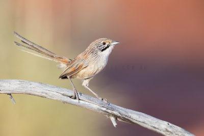 Sandhill Grasswren - Male (A.m.oweni)1