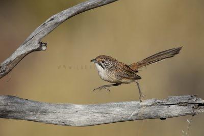 Sandhill Grasswren - Male (A.m.oweni)2