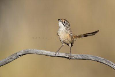 Sandhill Grasswren - Male (A.m.oweni)4