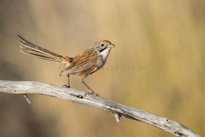 Sandhill Grasswren - Male (A.m.oweni)5