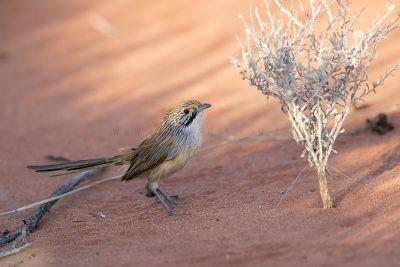 Sandhill Grasswren - Male (A.m.oweni)7