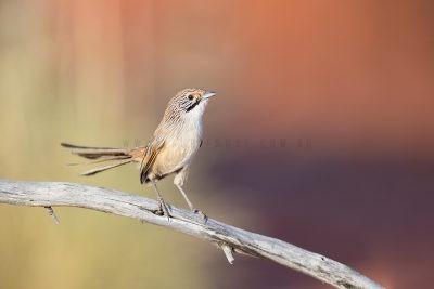 Sandhill Grasswren - Male (A.m.oweni)8