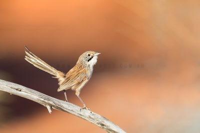 Sandhill Grasswren - Male (A.m.oweni)