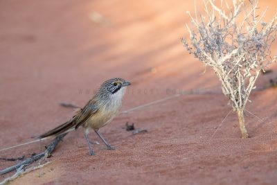 Sandhill Grasswren - Male on ground (A.m.oweni)