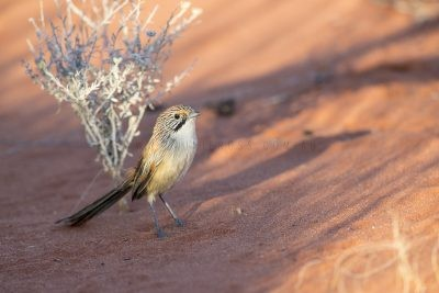 Sandhill Grasswren - Male on the ground (A.m.oweni)