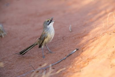 Sandhill Grasswren - Male singing on the ground (A.m.oweni)