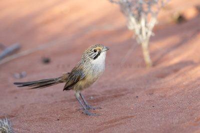 Sandhill Grasswren - Male standing (A.m.oweni)