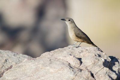Sandstone Shirke-thrush (Colluricincla woodwardi) - Gunlom, NT2
