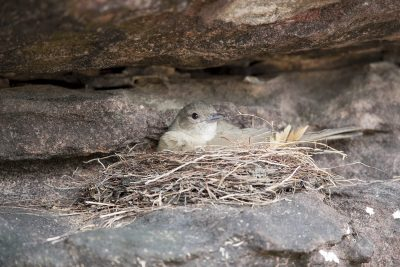 Sandstone Shrike-thrush (Colluricincla woodwardi) - On Nest - Ubirr, NT