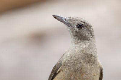 Sandstone Shrike-thrush - Portrait (Colluricincla woodwardi) - Ubirr, NT