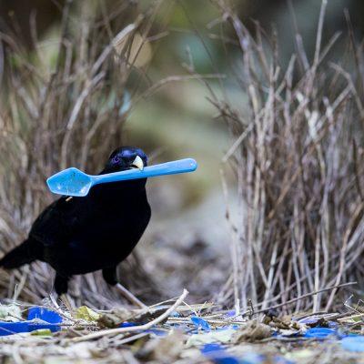 Bowerbirds, Catbirds, Birds of Paradise