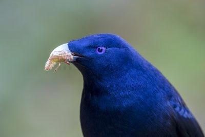 Satin Bowerbird - Profile