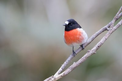 Scarlet Robin - Male (Petroica boodang)