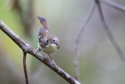 Scrubtit (Acanthornis magnus magnus)