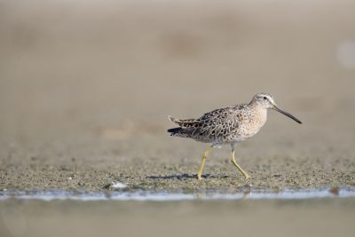 Short-billed Dowitcher (Limnodromus griseus).
