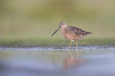 Short-billed Dowitcher (Limnodromus griseus).1