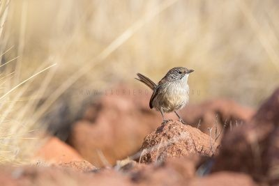 Short-tailed Grasswren - Male (A. m. pedleri) - Mt Ives, SA