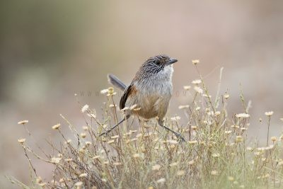 Short-tailed Grasswren - Female (A.m.merrotsyi)