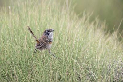 Short-tailed Grasswren - Female (A.m.merrotsyi).