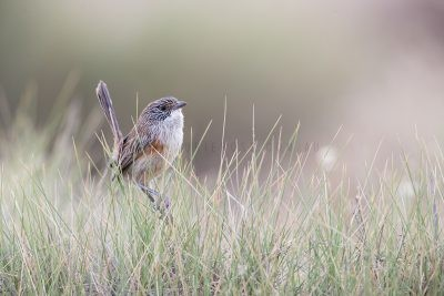Short-tailed Grasswren - Female sitting in Spinifex (A.m.merrotsyi)