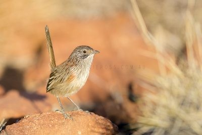 Short-tailed Grasswren - Full Frame Female (A.m.pedleri)
