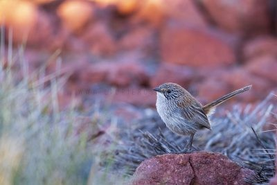 Short-tailed Grasswren - Male