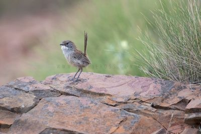 Short-tailed Grasswren - Male (A.m.merrotsyi)