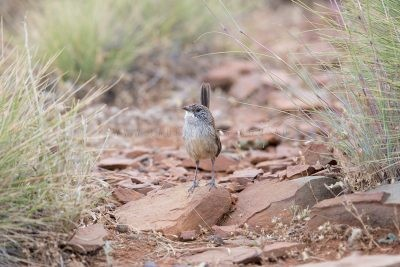 Short-tailed Grasswren - Male (A.m.merrotsyi)1