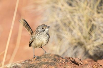Short-tailed Grasswren - Male (A.m.pedleri)