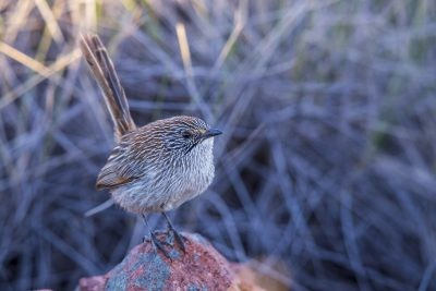 Short-tailed Grasswren - Male.2