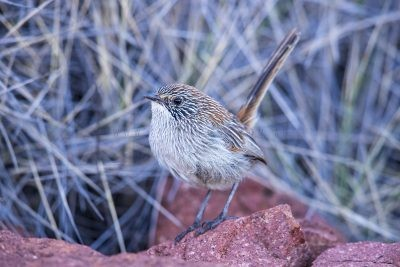 Short-tailed Grasswren - Male.3