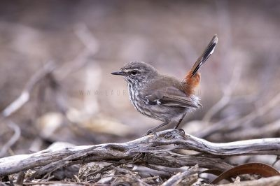 Thornbills, Bristlebirds, White-eyes and Gerygones