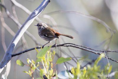 Shy Heathwren (Calamanthus cauta cauta)