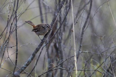 Shy Heathwren (Hylacola cauta)