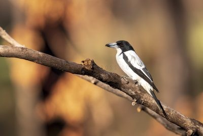 Silver-backed (Kimberley) Butcherbird (Cracticus torquatus colletti)
