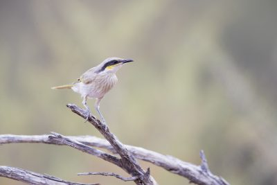 Singing Honeyeater (Lichenostomus Virescens Forresti)