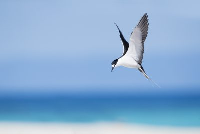 Sooty Tern (Onychoprion fuscatus)