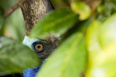Southern Cassowary - Peeking (Casuarius casuarius)