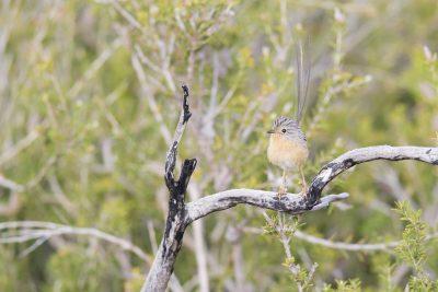 Southern Emu-wren - Female (Stipiturus malachurus westernensis)