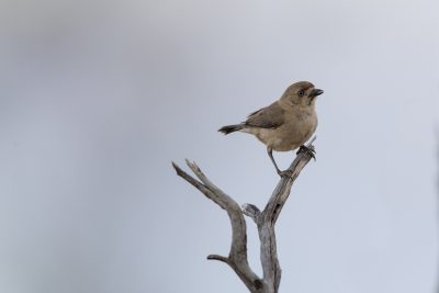 Southern Whiteface (Aphelocephala leucopsis leucopsis) - Alice Springs, NT