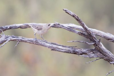 Southern Whiteface (Aphelocephala leucopsis leucopsis)