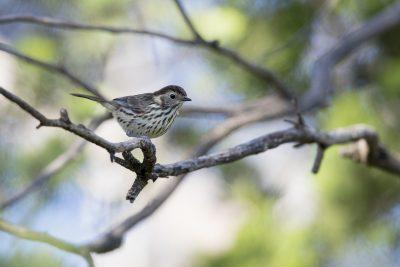 Speckled Warbler (Chthonicola Sagittata) - Back Yamma, NSW