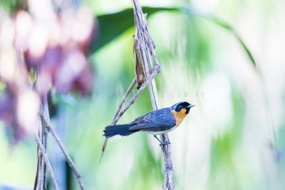 Spectacled Monarch