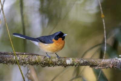 Spectacled Monarch (Symposiachrus trivirgatus).1