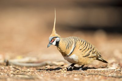 Spinifex Pigeon (Geophaps plumifera)