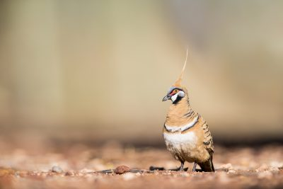 Spinifex Pigeon (Geophaps plumifera)1