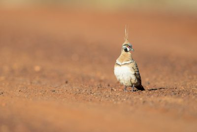 Eastern Spinifex Pigeon (Geophaps plumifera leucogaster) - Tennant Creek, NT