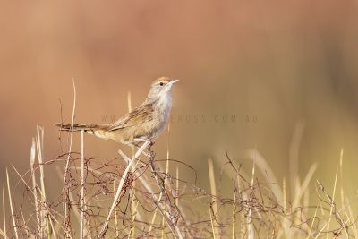 Spinifexbird (Eremiornis carteri).3