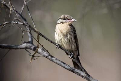 Spiny-cheeked Honeyeater (Acanthagenys rufogularis).